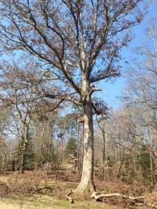 Tree Services in Williamsburg for Tree Cutting, Tree Trimming and Tree Removal with stump grinding